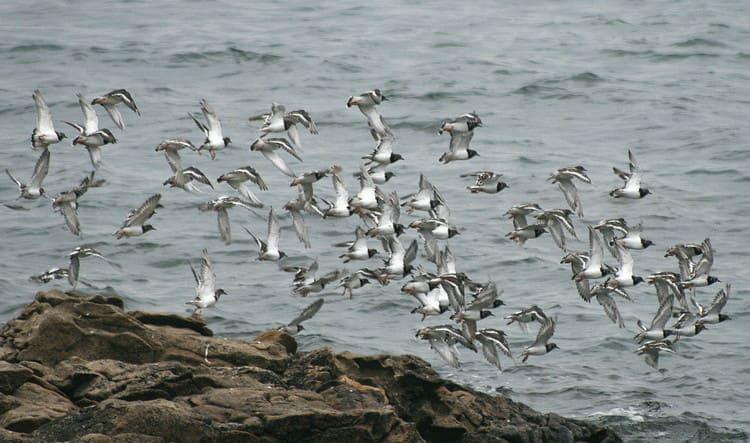 Oiseaux Golfe Morbihan